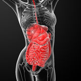 Female digestive system Stock Photos