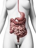 Female digestive system Stock Images
