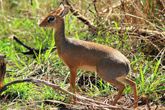 Female Dik Dik Stock Photos