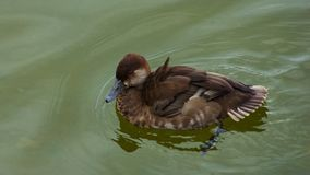 Female of diving duck Common pochard or Aythya ferina close-up portrait swimming in river, selective focus, shallow DOF.  stock photography