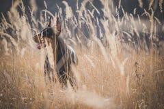 Female Doberman pinscher Stock Photos