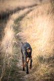 Female Doberman pinscher Stock Photography