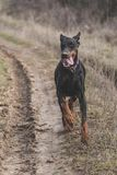 Female Doberman pinscher Royalty Free Stock Photo