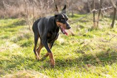 Female Doberman pinscher Royalty Free Stock Images