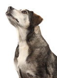 Female Dog. Portrait of a Healthy Female Mongrel Dog looking up Stock Image