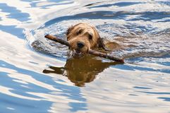 Dog briard with a stick in her mouth swims in water. Female dog briard with a stick in her mouth swims in water stock photography