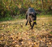 Dog plays with ball in backyard. Female dog of Cane Corso breed plays with the ball in autumn in backyard stock photography