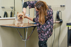 Female dog groomer is working. Stock Photos
