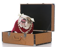 Female dog inside suitcase Stock Photo