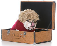 Female dog inside suitcase Royalty Free Stock Image