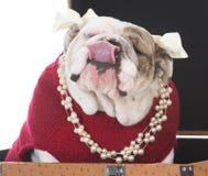 Female dog inside suitcase Stock Photo