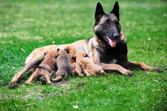 Female dog  with puppies Royalty Free Stock Photography
