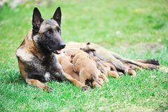 Female dog  with puppies Stock Image
