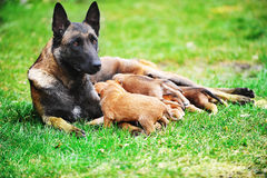Female dog  with puppies Royalty Free Stock Image
