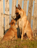 Female dog and puppy. Female purebred belgian shepherd malinois and her puppy Stock Photo