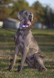 Female dog Royalty Free Stock Images