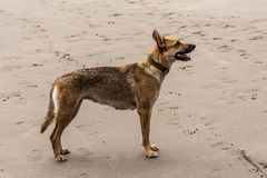 Female dog stanig in the sand royalty free stock image