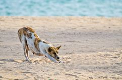 Dog stretch oneself on beach royalty free stock photos