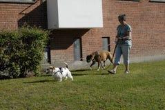 FEMALE DOG WALKER. Copenhagen/Denmark/ 05 August  2015_ In denmark allow pet walker can walk on grass in any park pet an pee on grass but not allow to poop Royalty Free Stock Photography