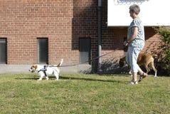 FEMALE DOG WALKER. Copenhagen/Denmark/ 05 August  2015_ In denmark allow pet walker can walk on grass in any park pet an pee on grass but not allow to poop Royalty Free Stock Image