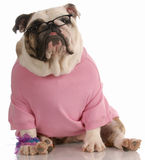 Female dog wearing glasse Stock Images