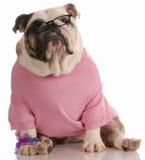 Female dog wearing glasse Stock Images