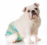 Female dog wearing pants Royalty Free Stock Image