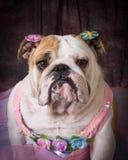 Female dog Royalty Free Stock Photo
