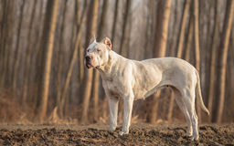 Female Dogo Argentino. In wood royalty free stock photos