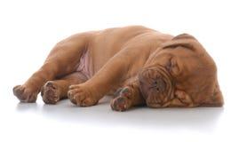 Female dogue de bordeaux puppy sleeping. On white background Stock Image
