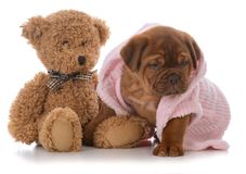 Female dogue de bordeaux puppy. Wearing pink pajamas on white background Royalty Free Stock Photos