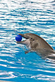 Female Dolphin with ball Royalty Free Stock Photo