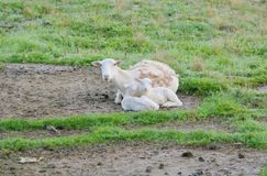 Mother Sheep or Ewe With Lambs. A female, domestic sheep or ewe, sits with her lambs in the pasture royalty free stock photo