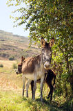 Female Donkey and Foal Stock Photo