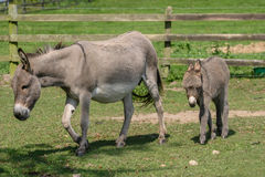 Female donkey with her two month old young baby donkey foal walking behind her. Female donkey with her two month old young baby donkey foal walking across a Royalty Free Stock Image