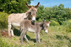 Female of donkey with it's foal Stock Image
