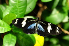 Female Doris Longwing Butterfly,aka,Heliconius doris Royalty Free Stock Images