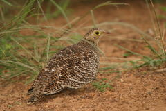 Female Double-banded Sandgrouse. We saw the sandgrouse on a game-drive one afternoon in the reserve Royalty Free Stock Image