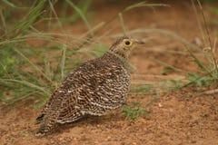 Female Double-banded Sandgrouse Royalty Free Stock Image