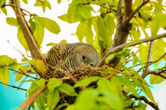 Female dove incubating eggs Royalty Free Stock Photography
