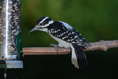 Female downy wood pecker perching Royalty Free Stock Images