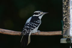 Female downy wood pecker perching. Female downied wood pecker perching on a branch royalty free stock photography