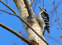 Female Downy Woodpecker. Picoides pubescens medianus - A Downy Woodpecker, similar to a Hairy Woodpecker, Spring Manitoba. A suet feeder. Eats insects on trees Royalty Free Stock Images