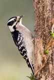 Female Downy Woodpecker. A female downy woodpecker anchored to a dead pine tree Stock Image