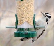 Female Downy Woodpecker Stock Photo