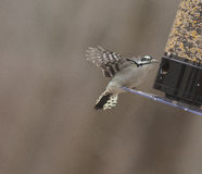 Female Downy Woodpecker at Bird Feeder Royalty Free Stock Image