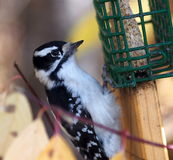 Female Downy Woodpecker At Birdfeeder. Female downy woodpecker on bird feeder with coloured leaves in background Royalty Free Stock Image