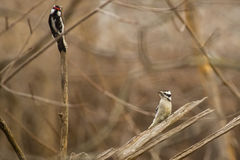 Female Downy Woodpecker Calling Royalty Free Stock Photos