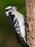 Downy Woodpecker. Female Downy Woodpecker climbing up a tree Royalty Free Stock Image