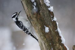 Female Downy Woodpecker Stock Photos